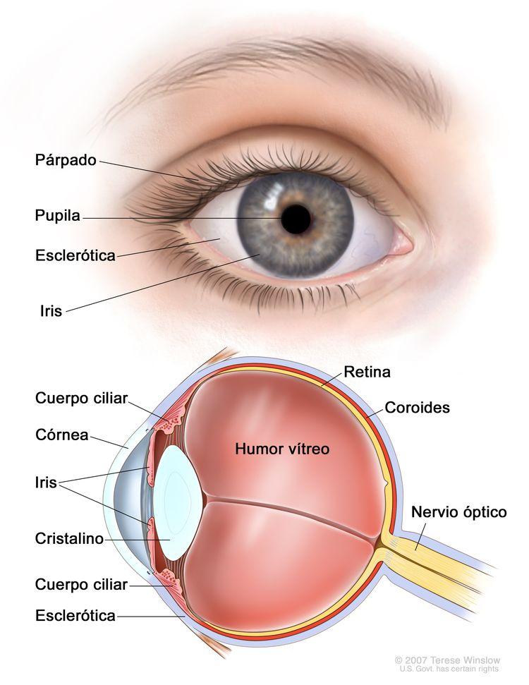 Anatomía del ojo. En la imagen de dos paneles se observa la parte exterior e interior del ojo. En el panel de arriba se muestra el exterior del ojo que incluye el párpado, la pupila, la esclerótica y el iris; en el panel de abajo se muestra el interior del ojo que incluye la córnea, el cristalino, el cuerpo ciliar, la retina, la coroides, el nervio óptico y el humor vítreo.