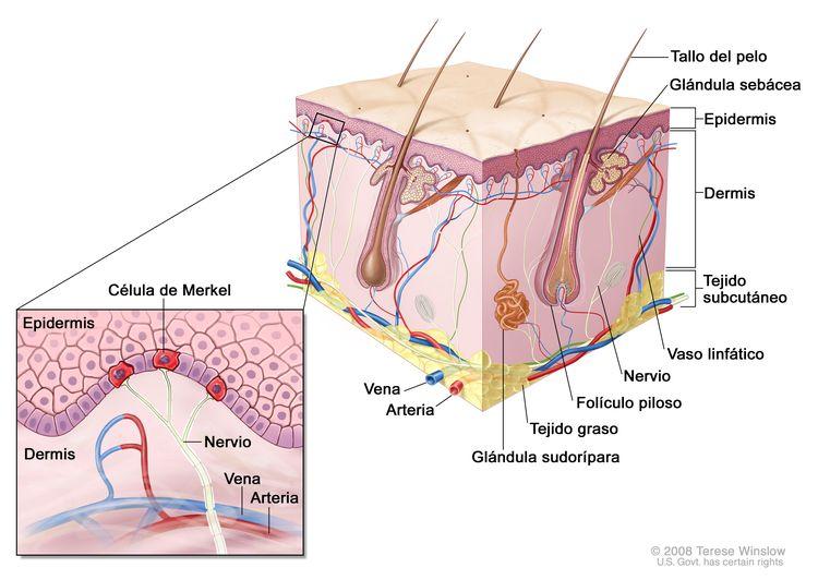 Anatomía de la piel con células de Merkel; el dibujo muestra la anatomía de la piel normal, como la epidermis, la dermis, los folículos pilosos, las glándulas sudoríparas, los tallos del pelo, las venas, las arterias, el tejido graso, los nervios, los vasos linfáticos, las glándulas sebáceas y el tejido subcutáneo. La ampliación muestra la epidermis con las células de Merkel sobre la dermis con una vena y arteria. Los nervios se conectan con las células de Merkel.