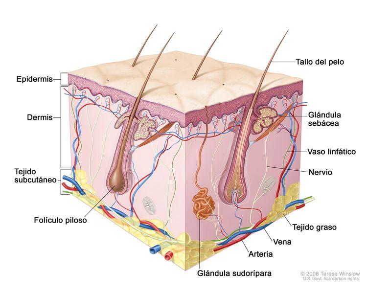 Anatomía de la piel; el dibujo muestra las capas de la epidermis, la dermis y el tejido subcutáneo, con inclusión de los tallos del pelo y los folículos pilosos, las glándulas sebáceas, los vasos linfáticos, los nervios, el tejido graso, las venas, las arterias y una glándula sudorípara.