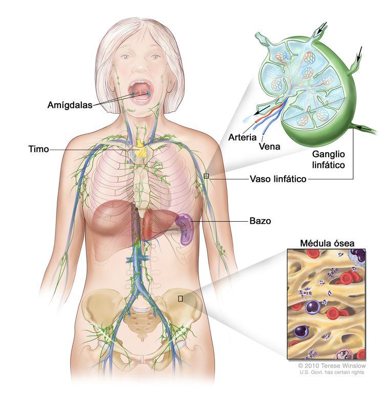 Sistema linfático. En la imagen se observan los vasos linfáticos y algunos órganos linfáticos (ganglios linfáticos, amígdalas, timo, bazo y médula ósea). En una ampliación, se muestra el interior de un ganglio linfático, los vasos linfáticos que están unidosl ganglio linfático y unas flechas que indican cómo la linfa (líquido claro) entra y sale del ganglio. En otra ampliación, se muestra la médula ósea con células sanguíneas.