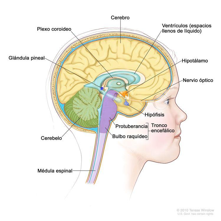 Imagen del interior del encéfalo en la que se observan los ventrículos (espacios llenos de líquido), el plexo coroideo, el hipotálamo, la glándula pineal, la hipófisis, el nervio óptico, el tronco encefálico, el cerebelo, el cerebro, el bulbo raquídeo, la protuberancia y la médula espinal.