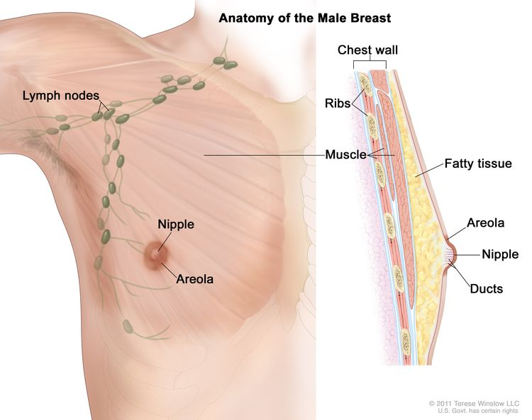 Anatomy of the male breast; drawing shows the lymph nodes, nipple, areola, chest wall, ribs, muscle, fatty tissue, and ducts.