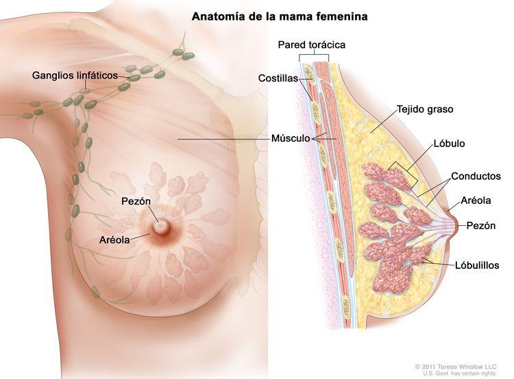 Dibujo de la anatomía de la mama femenina en el que se muestran los ganglios linfáticos, el pezón, la aréola, la pared torácica, las costillas, el músculo, el tejido graso, el lóbulo , los conductos y los lobulillos.