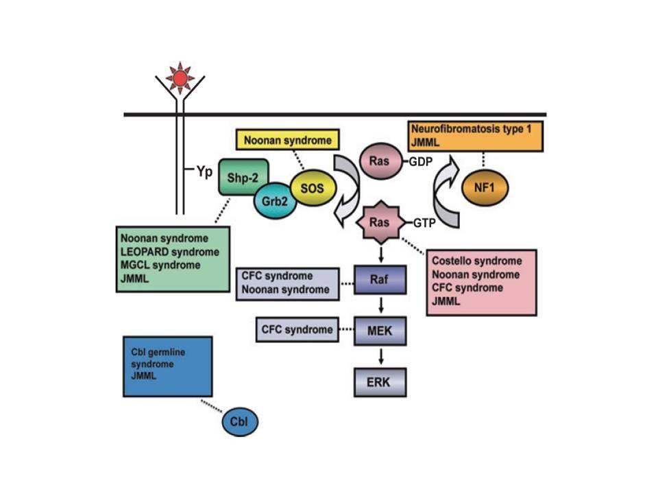 リガンド刺激によるRas活性化、Ras-Erk経路ならびに先天性神経・心・顔面・皮膚障害およびJMMLに寄与する遺伝子変異を示した模式図
