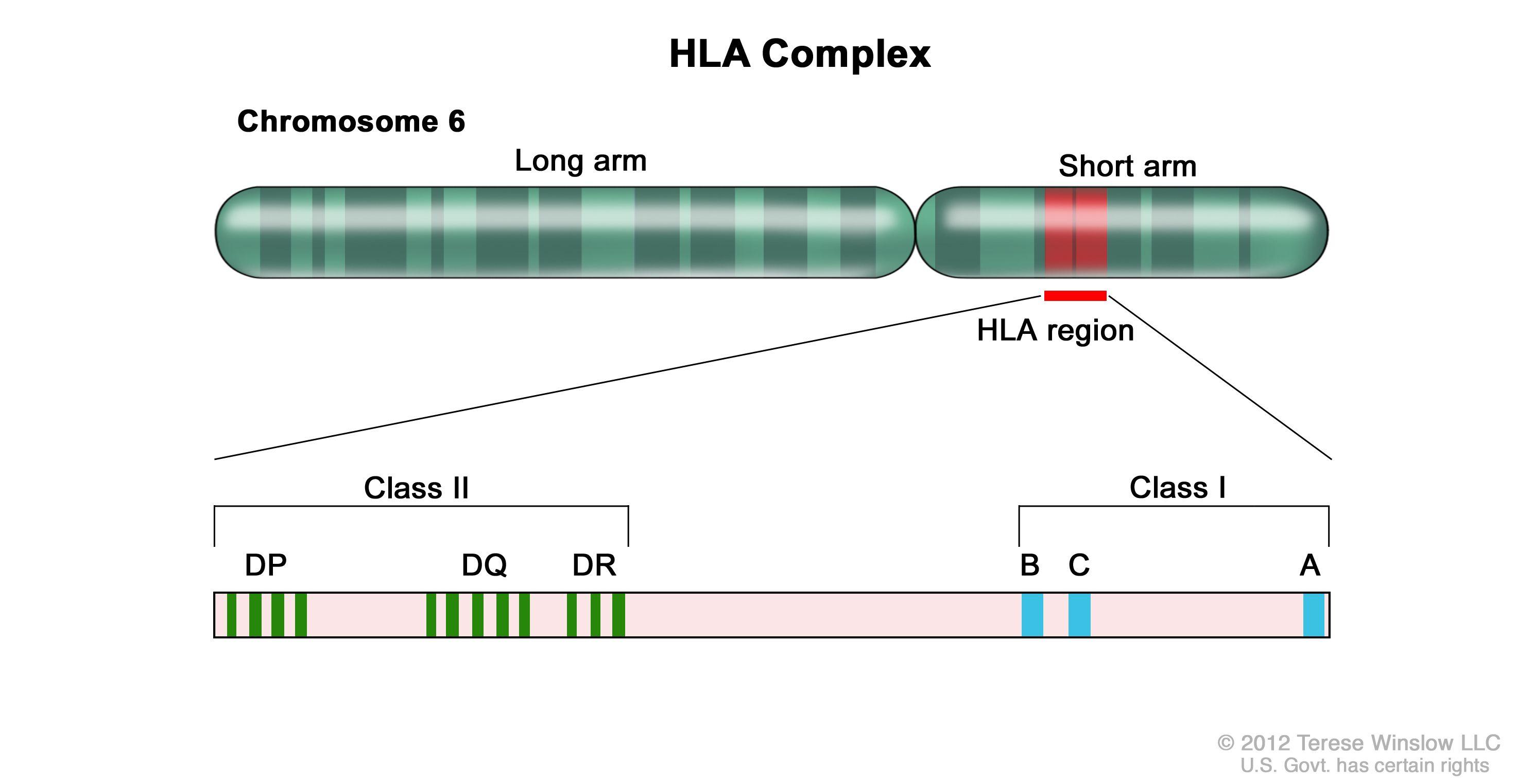 ヒト白血球抗原(HLA)複合体;図はヒトの6番染色体の長腕および短腕と、Class I A、B、CアレルとClass II DP、DQ、DRアレルを含むHLA領域の拡大図を示す。