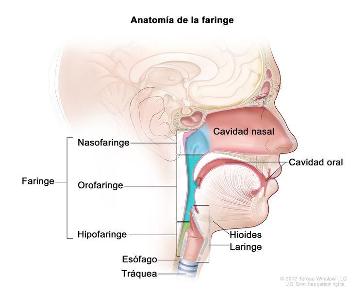 Anatomía de la faringe. En la imagen se observan la nasofaringe, la orofaringe y la hipofaringe. También se muestran la cavidad nasal, la cavidad oral, el hioides, la laringe, el esófago y la tráquea.