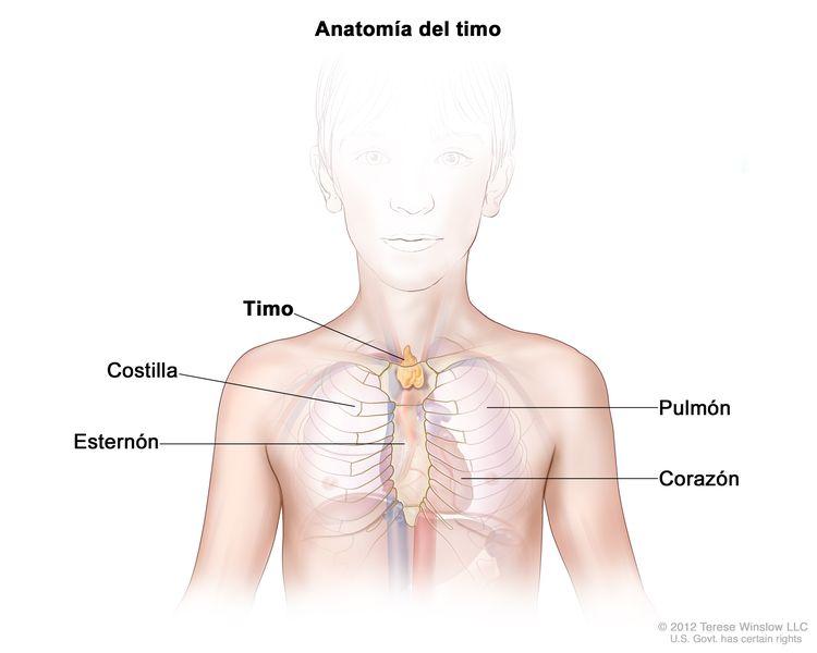 Anatomía del timo; el dibujo muestra el timo en la parte superior del pecho, bajo el esternón. También se muestran las costillas, los pulmones y el corazón.
