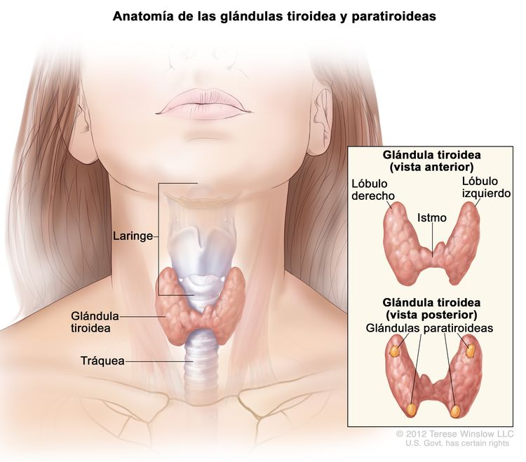 Anatomía de las glándulas tiroidea y paratiroideas. En la imagen se muestra la glándula tiroidea en la base de la garganta, cerca de la tráquea. En un recuadro se muestran las vistas anterior y posterior. En la vista anterior se observan la tiroides en forma de mariposa y los lóbulos (derecho e izquierdo) conectados por una pieza delgada de tejido llamada istmo. En la vista posterior se observan las cuatro glándulas paratiroideas del tamaño de una arveja. También se muestra la laringe.