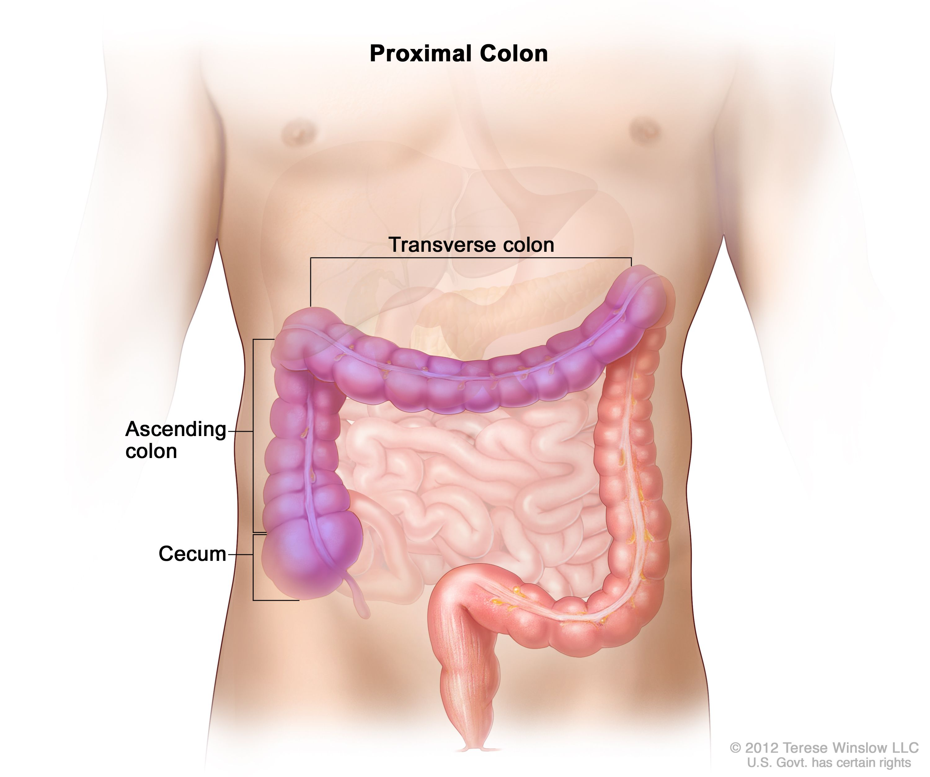 Definition Of Proximal Colon Nci Dictionary Of Cancer Terms National Cancer Institute