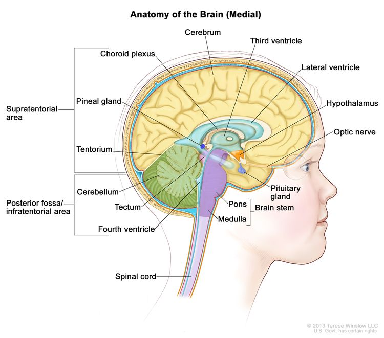 Drawing of the inside of the brain showing the supratentorial area (the upper part of the brain) and the posterior fossa/infratentorial area (the lower back part of the brain). The supratentorial area contains the cerebrum, lateral ventricle, third ventricle, choroid plexus, hypothalamus, pineal gland, pituitary gland, and optic nerve. The posterior fossa/infratentorial area contains the cerebellum, tectum, fourth ventricle, and brain stem (pons and medulla). The tentorium and spinal cord are also shown.