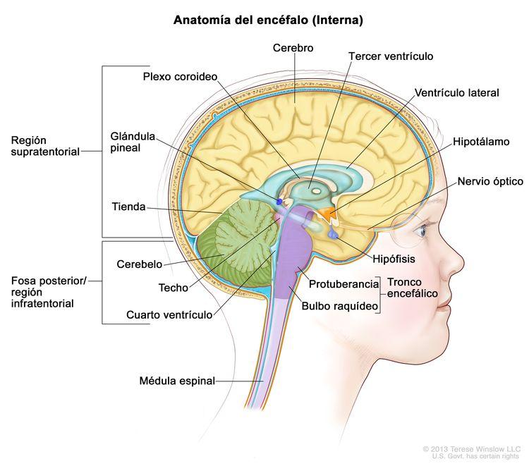 Dibujo del interior del encéfalo que muestra la región supratentorial (la porción superior del encéfalo) y la fosa posterior o región infratentorial (la porción inferior y posterior del encéfalo). La región supratentorial contiene el cerebro, un ventrículo lateral, el tercer ventrículo, el plexo coroideo, el hipotálamo, la glándula pineal, la hipófisis y un nervio óptico. La fosa posterior o región infratentorial contiene el cerebelo, la tienda del cerebelo, el cuarto ventrículo y el tronco encefálico (protuberancia y bulbo raquídeo). También se muestra el techo del mesencéfalo y la médula espinal.