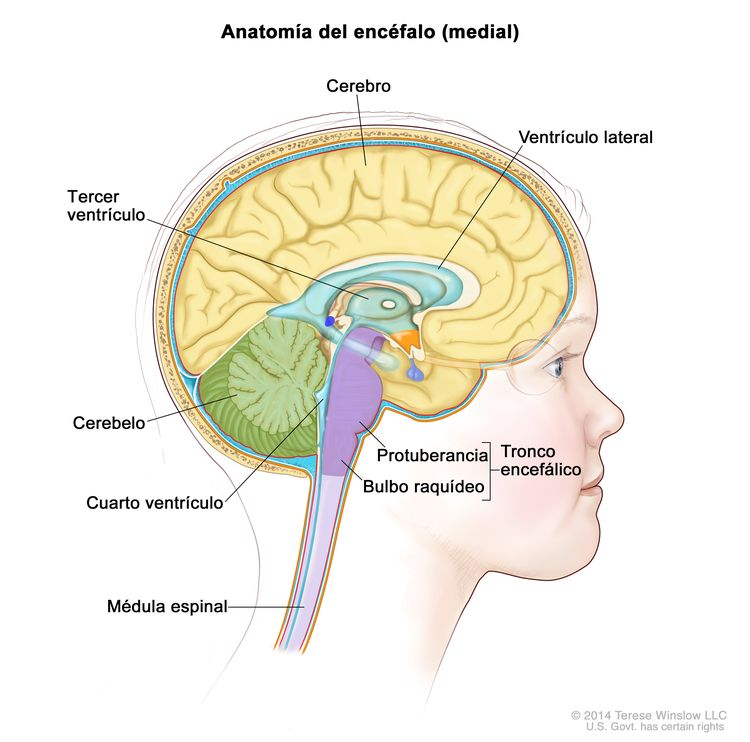 Dibujo del interior del encéfalo que muestra el ventrículo lateral, el tercer ventrículo, el cuarto ventrículo y las vías entre los ventrículos (se observa el líquido cefalorraquídeo en azul). Se muestran otras partes del encéfalo como el cerebro, el cerebelo, la médula espinal y el tronco encefálico (protuberancia y bulbo raquídeo).
