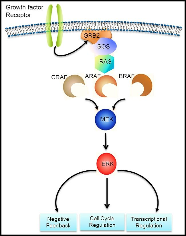 BRAF-RAS pathway