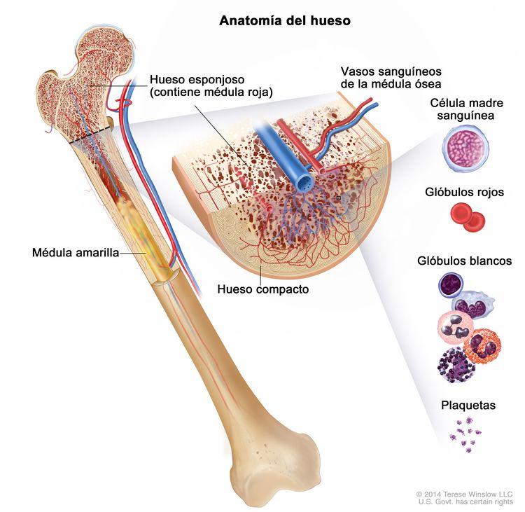 Anatomía del hueso; en la imagen se muestra el hueso esponjoso, la médula roja y la médula amarilla. En un corte transversal del hueso, se muestran el hueso compacto y los vasos sanguíneos en la médula ósea. También se observan glóbulos rojos, glóbulos blancos, plaquetas y células madre sanguíneas.
