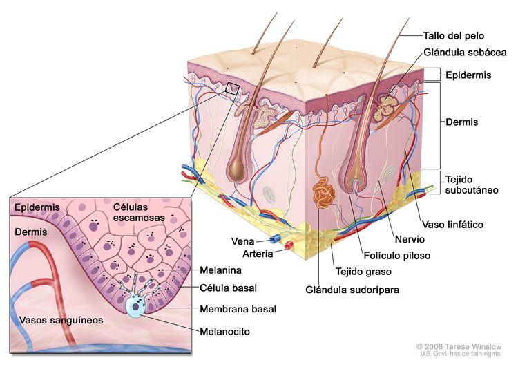 Representación esquemática de la piel normal. En la imagen se observan las características anatómicas de la piel normal: la epidermis, la dermis, los folículos pilosos, las glándulas sudoríparas, los tallos del pelo, las venas, las arterias, el tejido graso, los nervios, los vasos linfáticos, las glándulas sebáceas y el tejido subcutáneo. En la ampliación, se muestran las capas de células escamosas y basales de la epidermis, la membrana basal entre la epidermis y la dermis, y los vasos sanguíneos de la dermis. También se muestran la melanina en las células y un melanocito en la capa de células basales, que es la parte más profunda de la epidermis.