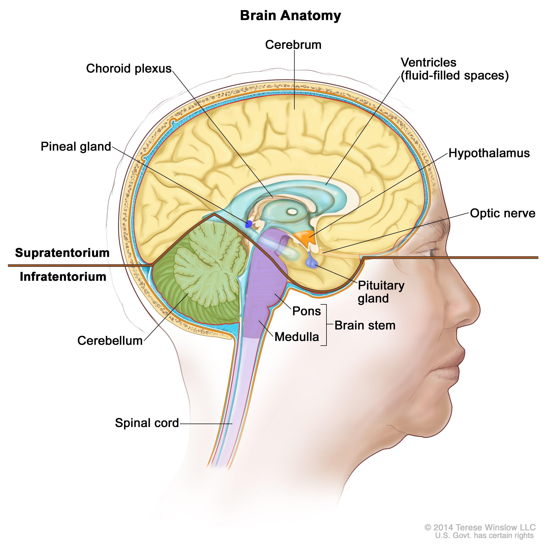 脳の内部図:テント上(脳の上部)およびテント下(脳の下部後方)を示す。テント上には、大脳、脳室(液体で満たされた空間)、脈絡叢、視床下部、松果体、下垂体、視神経が含まれる。テント下には小脳と脳幹(橋および髄質)が含まれる。脊髄も示されている。