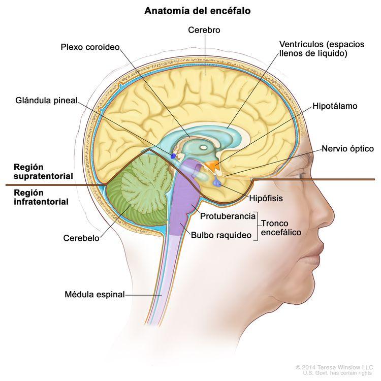 Dibujo del interior del encéfalo que muestra la región supratentorial (parte superior del encéfalo) y la infratentorial (parte inferior y posterior del encéfalo). La región supratentorial incluye el cerebro, los ventrículos (espacios llenos de líquido), el plexo coroideo, el hipotálamo, la hipófisis, la glándula pituitaria y el nervio óptico. La región infratentorial incluye el cerebelo y el tronco encefálico (protuberancia y bulbo raquídeo). También se muestra la médula espinal.