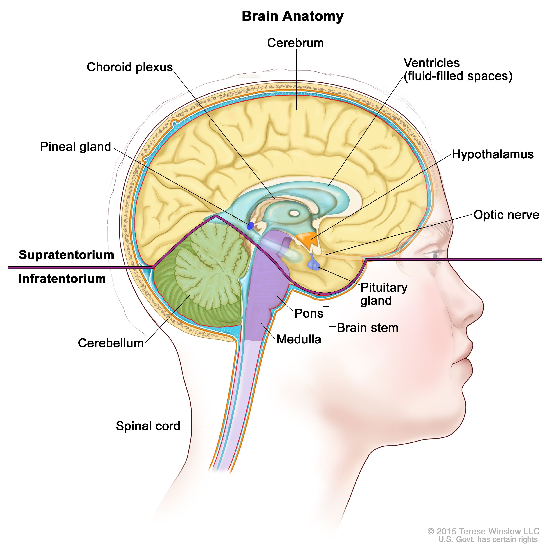 脳の解剖図:テント上(脳の上部)およびテント下(脳の後方下部)を示す。テント上には、脳室(液体で満たされた空間)、脈絡叢、視床下部、松果体、下垂体、視神経がある。テント下には、小脳、脳幹(脳橋、延髄)がある。脊髄も示されている。
