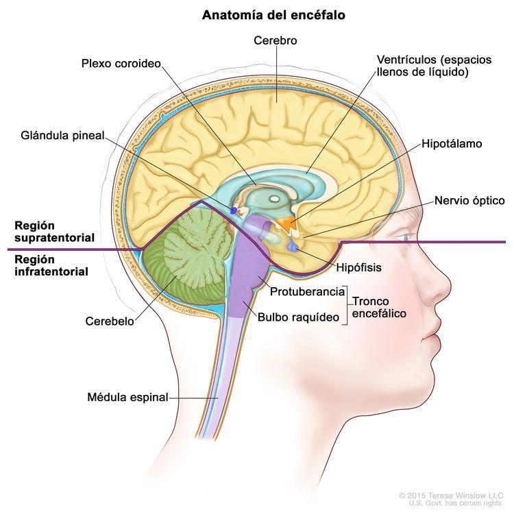 Imagen del interior del encéfalo que muestra la región supratentorial (la parte superior del encéfalo) y la región infratentorial (la parte inferior del encéfalo). La región supratentorial contiene el cerebro, los ventrículos (espacios llenos de líquido), el plexo coroideo, el hipotálamo, la glándula pineal, la hipófisis y los nervios ópticos. La región infratentorial contiene el cerebelo y el tronco encefálico (protuberancia y bulbo raquídeo). También se muestra la médula espinal.