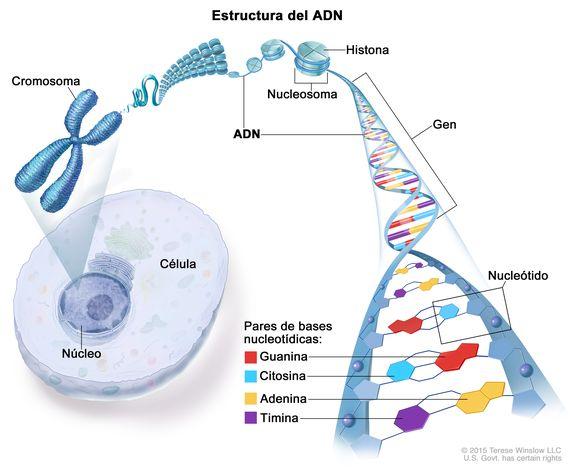 Definicion De Cromosoma Diccionario De Cancer Instituto Nacional Del Cancer