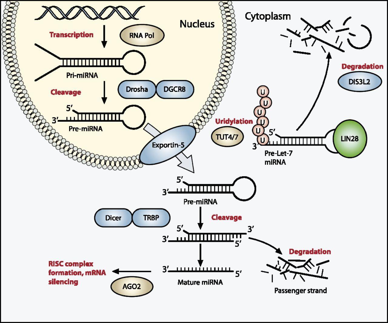 図はウィルムス腫瘍で変異がよくみられるmiRNAプロセシング経路を示している。
