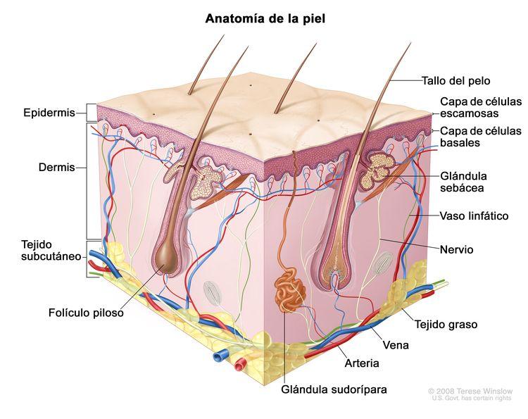 Anatomía de la piel; en la imagen se observa la epidermis (incluso la capa de células escamosas y la capa de células basales), la dermis y el tejido subcutáneo. También se muestran los tallos del pelo, los folículos pilosos, las glándulas sebáceas, los vasos linfáticos, los nervios, el tejido graso, las venas, las arterias y las glándulas sudoríparas.