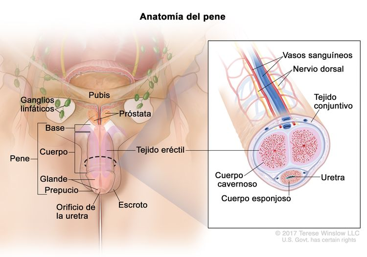 Anatomía del pene; el dibujo muestra la base, el cuerpo, el glande, el prepucio y el orificio de la uretra. También se muestra el escroto, la próstata, el pubis y los ganglios linfáticos. En un recuadro se muestra un corte transversal del interior del pene que incluye los vasos sanguíneos, el nervio dorsal, el tejido conjuntivo, el tejido eréctil (cuerpo cavernoso y cuerpo esponjoso) y la uretra.