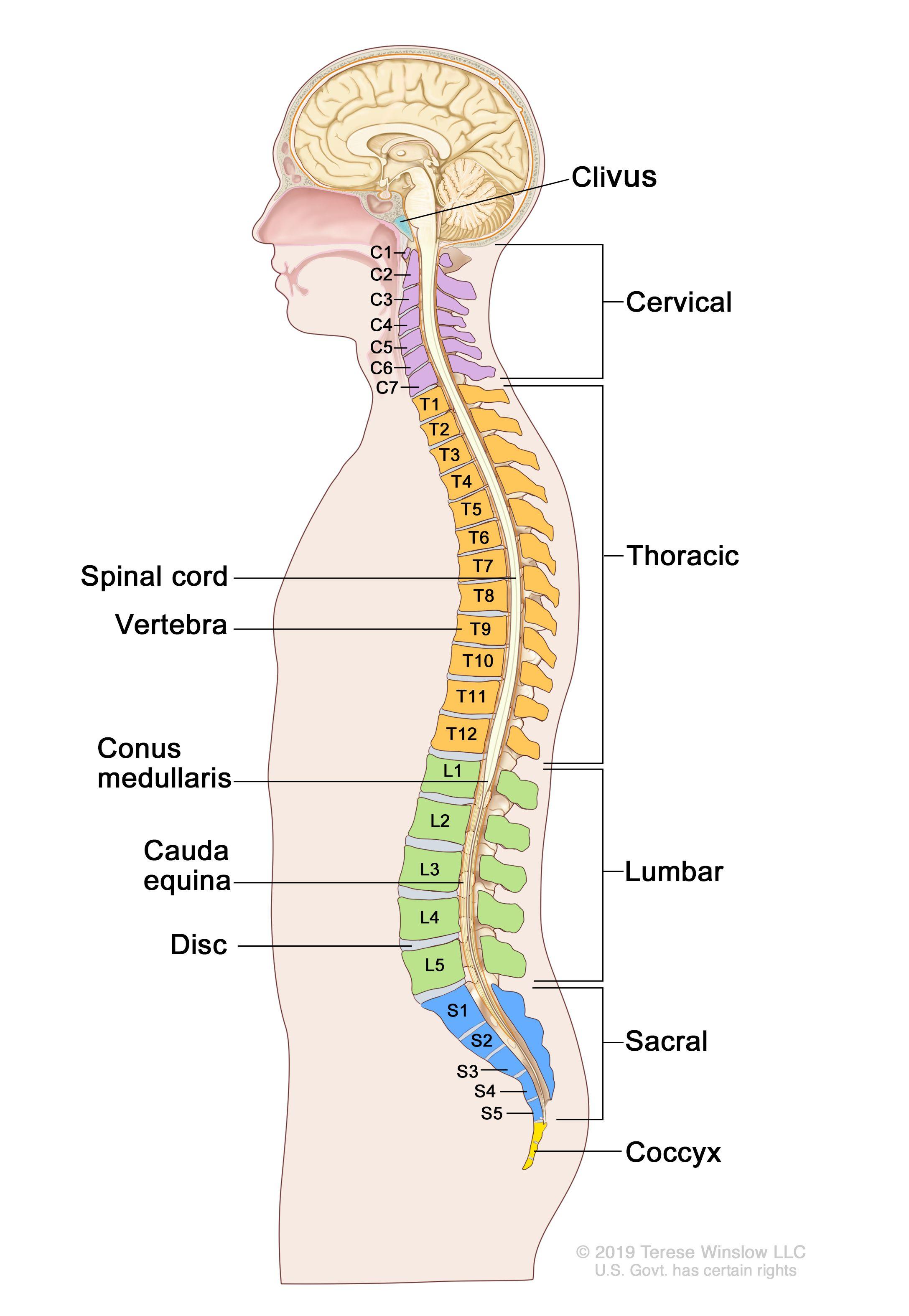 脊椎の解剖図:図は脊椎の側面図を示し、頸椎(C1-C7)、胸椎(T1-T12)、腰椎(L1-L5)、仙椎(S1-S5)、尾骨が描かれている。さらに、脊髄、椎骨(背骨)、脊髄円錐(脊髄の終端部)、馬尾(脊髄円錐を越えて伸びている脊髄神経の束)、腰部椎間板が示されている。斜台(頭蓋底の脊髄付近に位置する骨)も示されている。