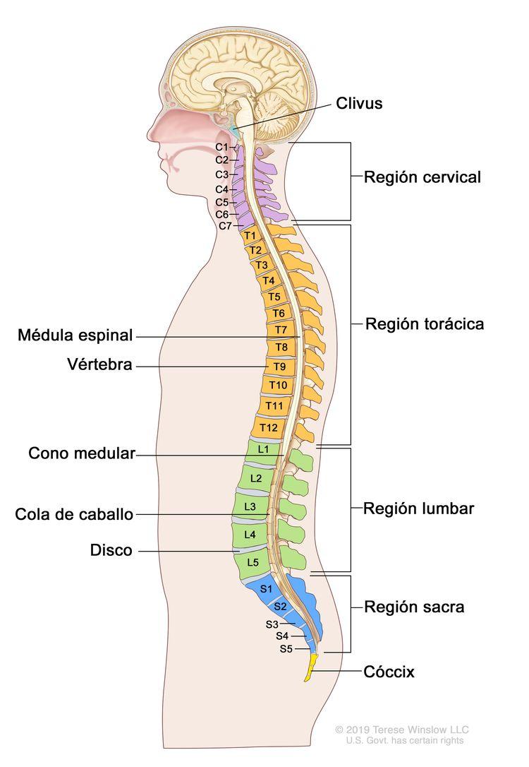 Anatomía de la columna vertebral. En el dibujo se observa una vista lateral de la columna vertebral, que incluye la región cervical (C1-C7), la región torácica (T1-T12), la región lumbar (L1-L5), la región sacra (S1-S5) y el cóccix (hueso coccígeo). También se muestran la médula espinal, las vertebras (huesos de la columna), el cono medular (parte final de la médula espinal), la cola de caballo (conjunto de nervios raquídeos que continúan más allá del cono medular) y los discos lumbares. Además, se muestra el clivus (hueso en la base del cráneo cerca de la médula espinal).