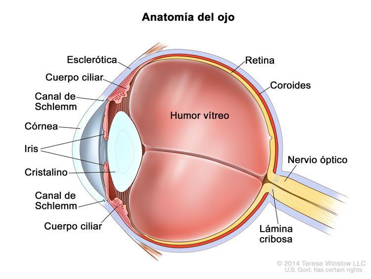Anatomía del ojo. En la imagen se observan la esclerótica, el cuerpo ciliar, el canal de Schlemm, la córnea, el iris, el cristalino, el humor vítreo, la retina, la coroides, el nervio óptico y la lámina cribosa.