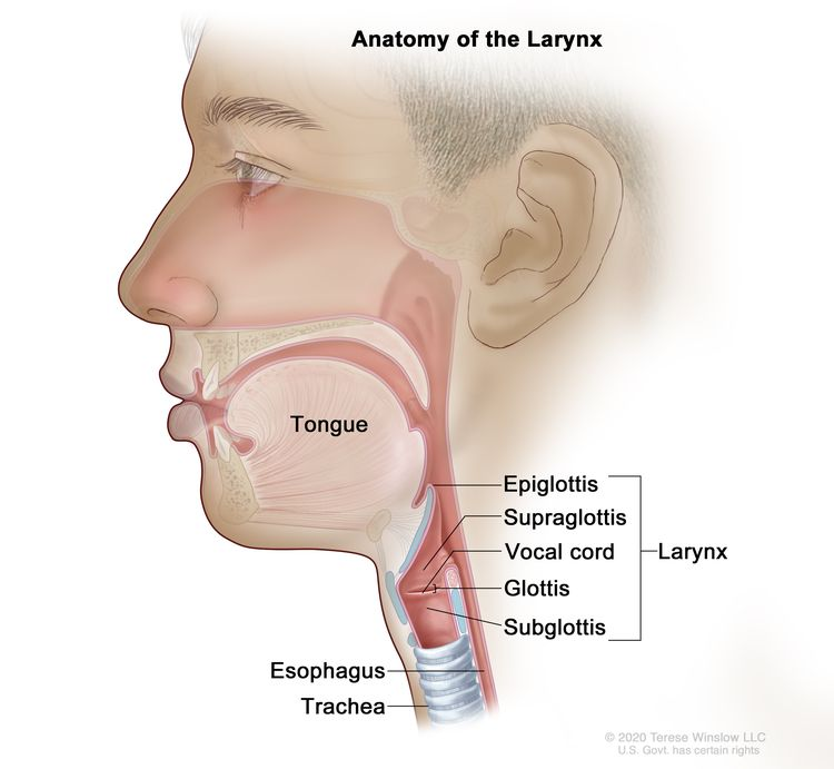 Anatomy of the larynx; drawing shows the epiglottis, supraglottis, vocal cord, glottis, and subglottis. Also shown are the tongue, trachea, and esophagus.
