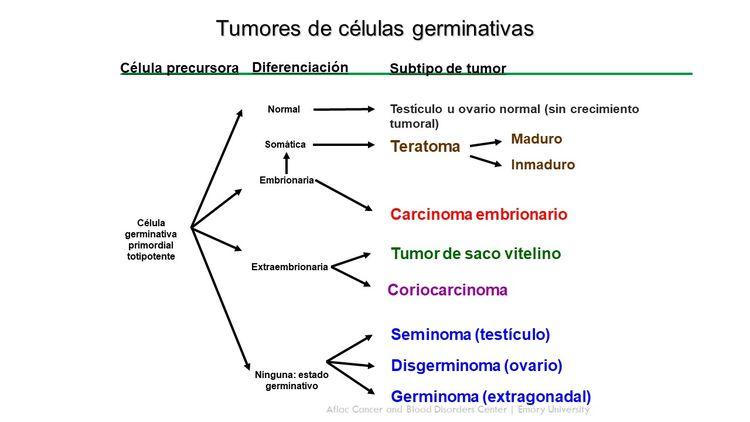 En el diagrama se observa el desarrollo de las células germinativas extracraneales a partir de las células germinativas primordiales.